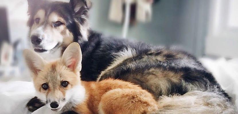 Un zorro y un perro amigos