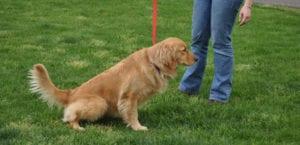 Perro orinando en la hierba.
