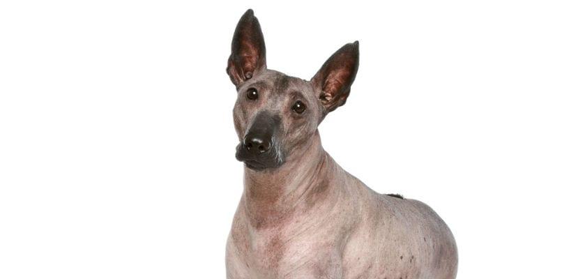 Perro sin pelo del Perú adulto.