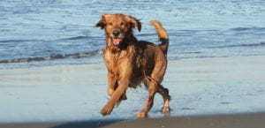 Perro corriendo en la playa.