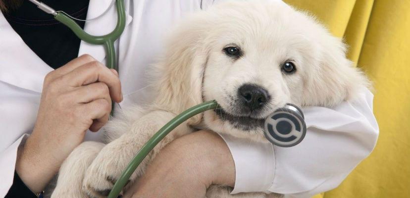 Cachorro de Golden Retriever con un veterinario.