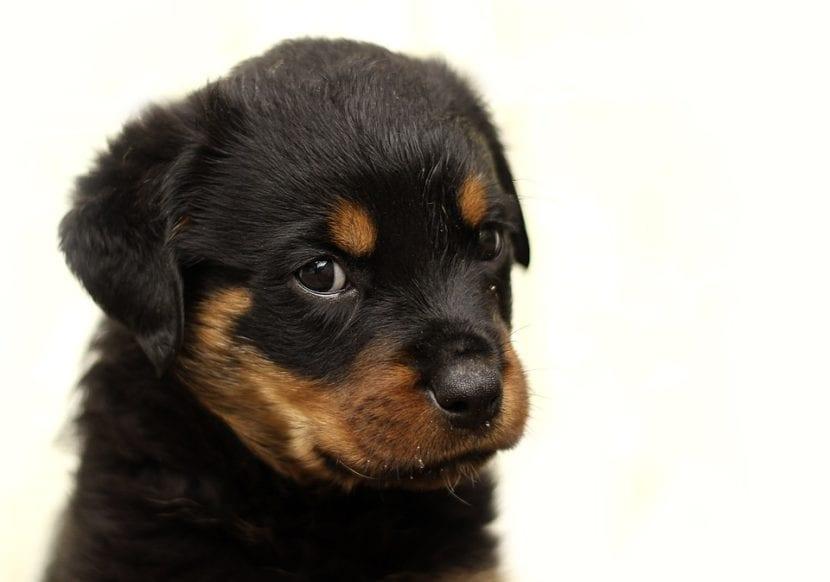 Cachorro de rotweiler