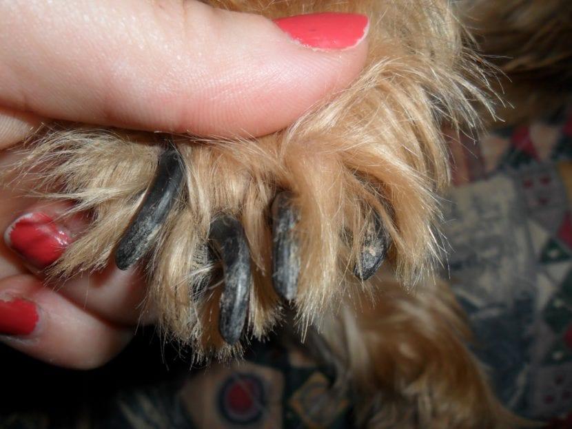 Cortar uñas al perro