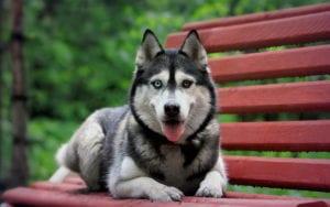 Husky sentado