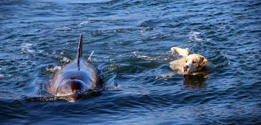 El labrador Ben y la hembra de delfín Duggie nadando en el mar.