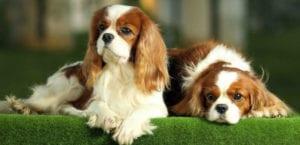 Dos perros de raza Cavalier en el césped.