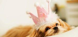 Perro con una corona en la cabeza.