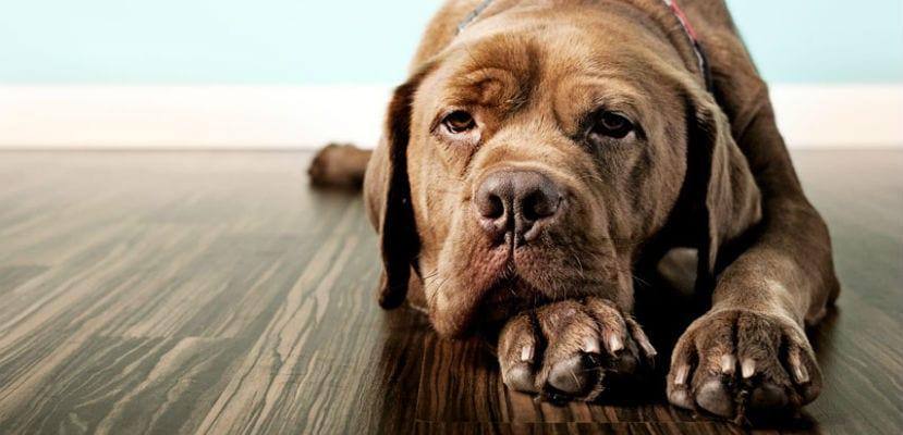 Perro tumbado en el suelo.