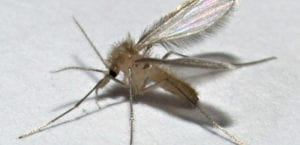 Flebotomo, mosquito que transmite la leishmaniosis.