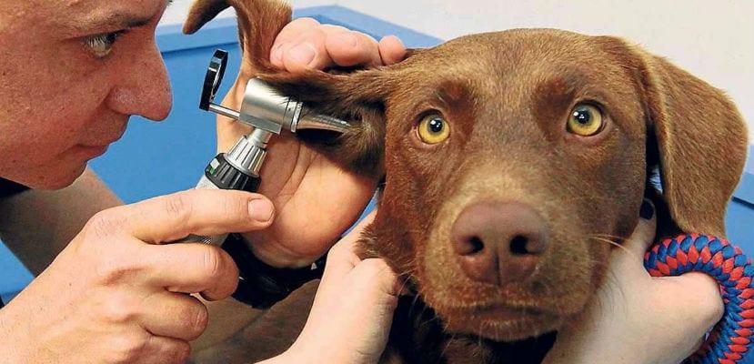 Veterinario revisando los oídos del perro.