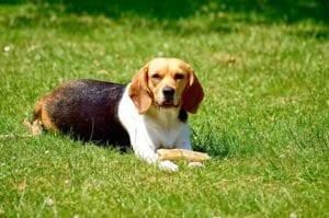 Beagle jugando