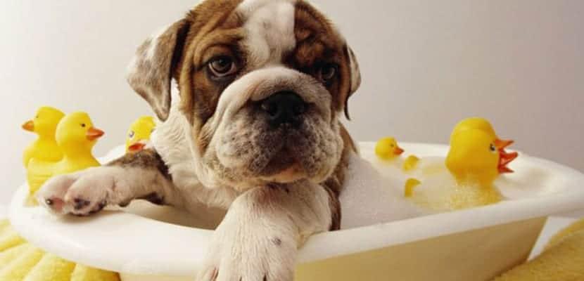 Cuándo bañar al perro