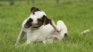 Perro adulto rascándose