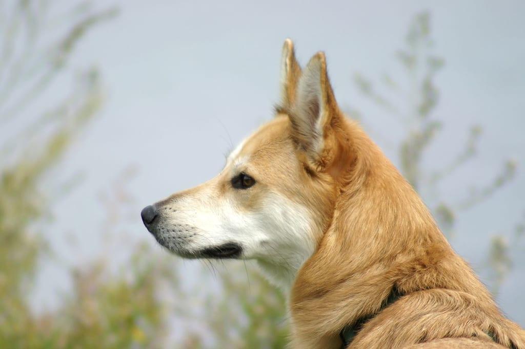 Ntja ea Dingo