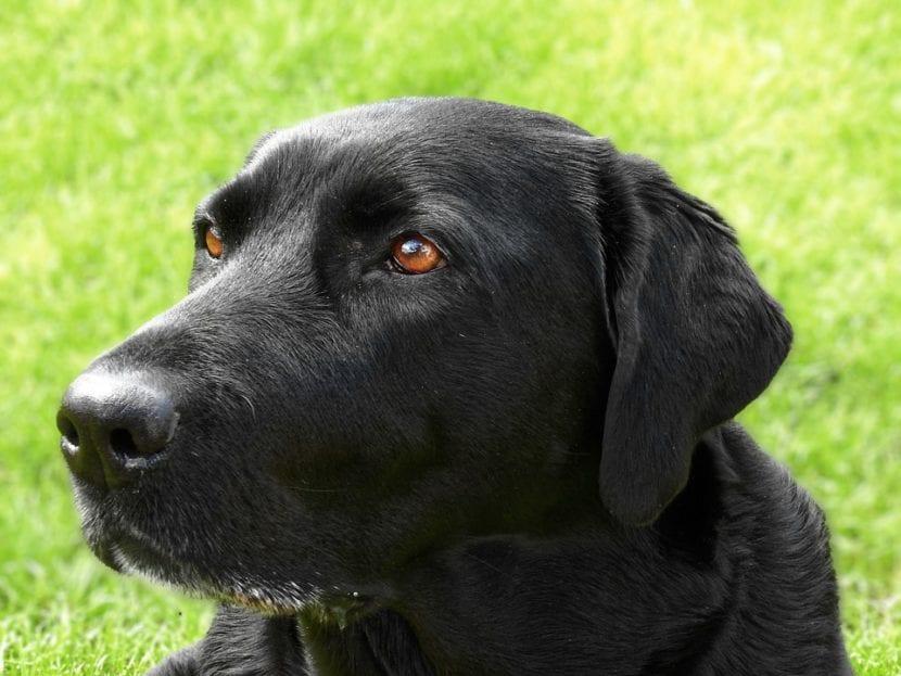 Perro negro