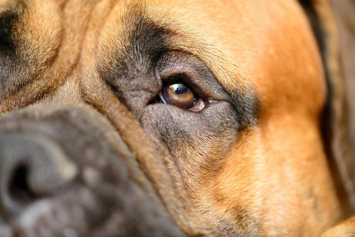 Las pupilas de los ojos de los perros te dirán mucho sobre su salud