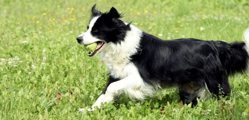 Border Collie corriendo por el campo.