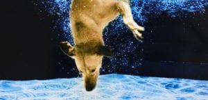 Perro buceando debajo del agua.