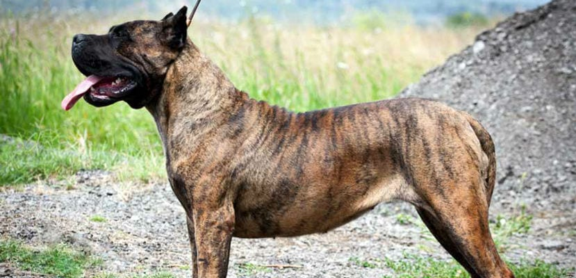 Perro Presa Canario o Dogo Canario.