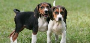 Dos ejemplares de Coonhound.