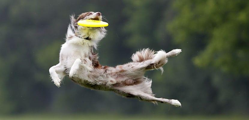 Perro atrapando un frisbee o disco.