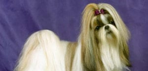 Shih Tzu con el pelo largo.