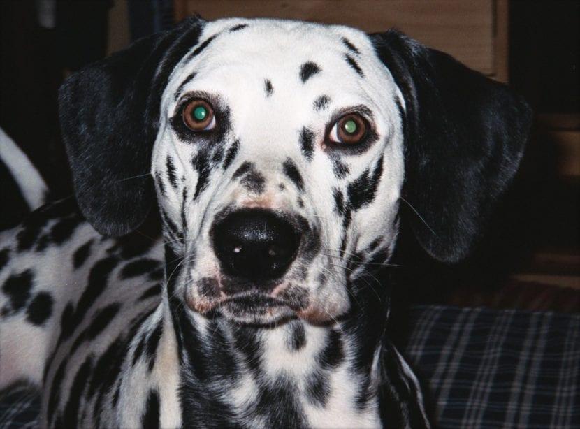 Perro dálmata