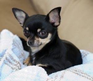 Chihuahua de color negro