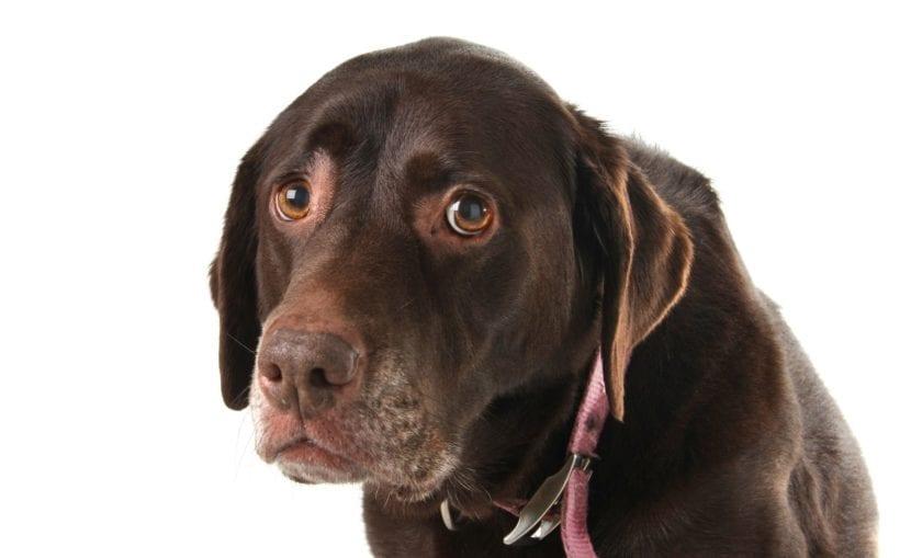 Perro con miedo al veterinario