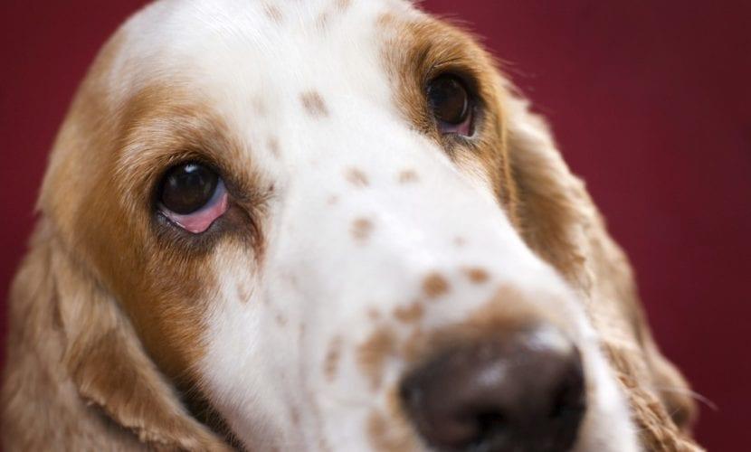 Perro con ojos rojos