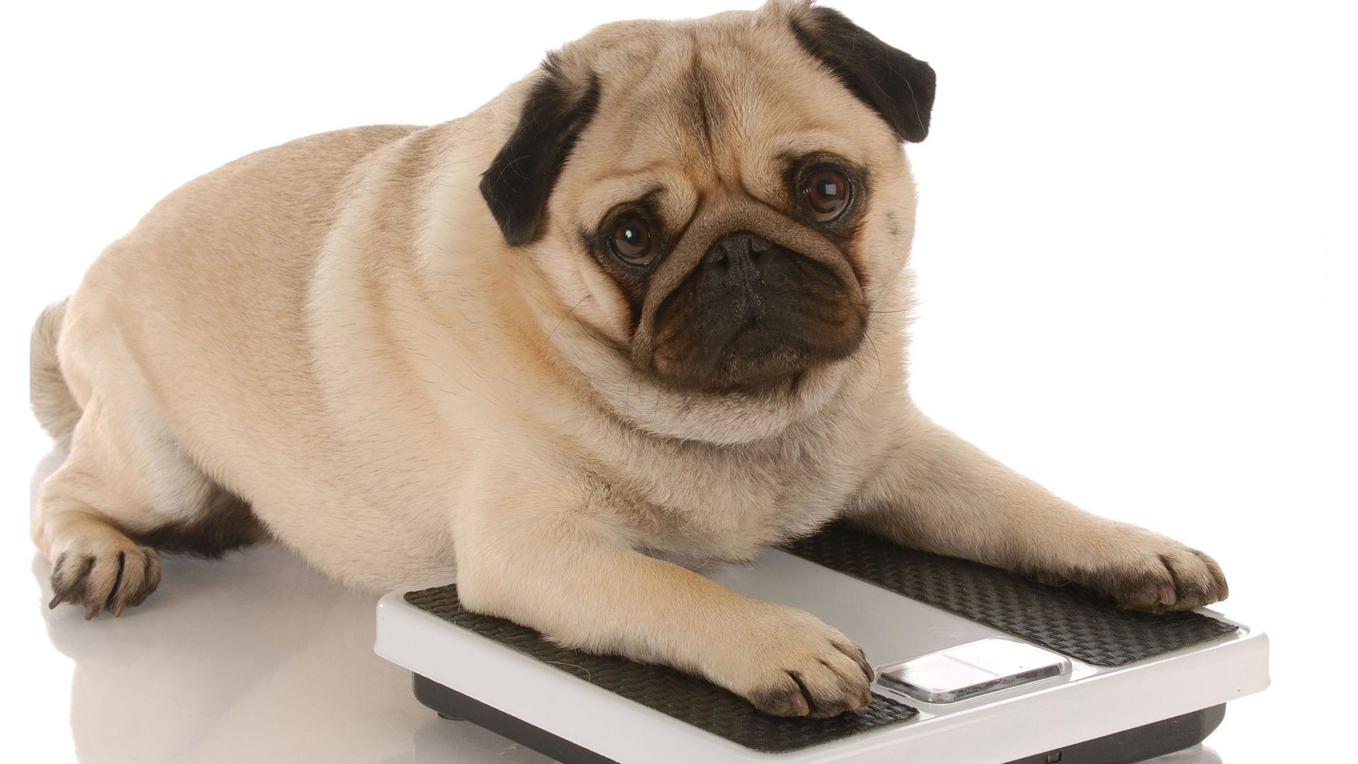 C mo cuidar a un perro con sobrepeso - Cuando se puede banar a un perro ...