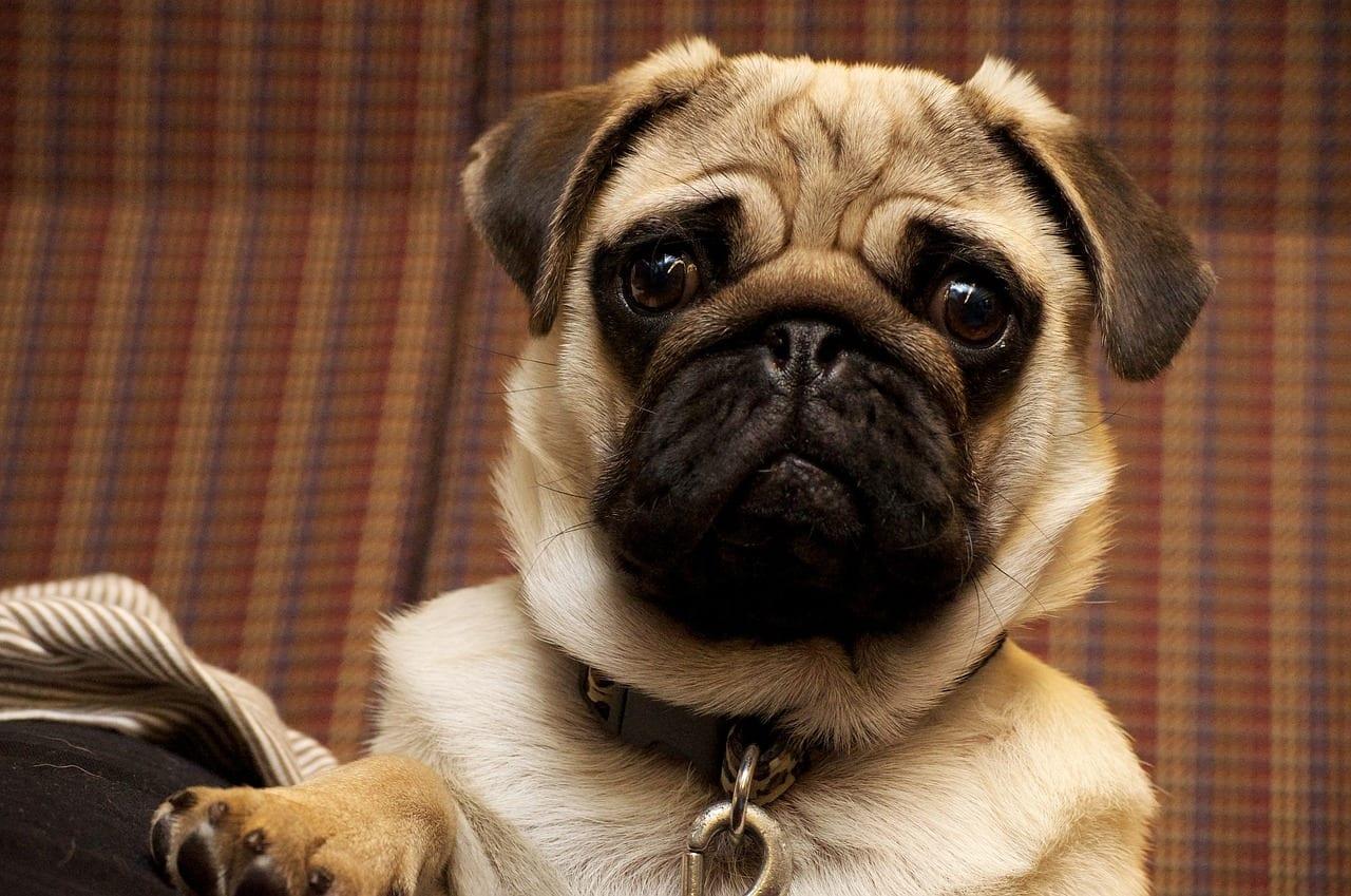 Perro pug con collar