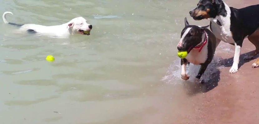 Perros en la piscina de Campus Perruno, en Brunete.