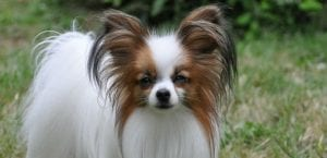 Papillon o Continental Toy Spaniel.