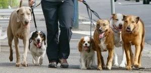 Persona paseando a varios perros.