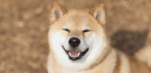 Marutaro, un Shiba Inu famoso en las redes sociales.