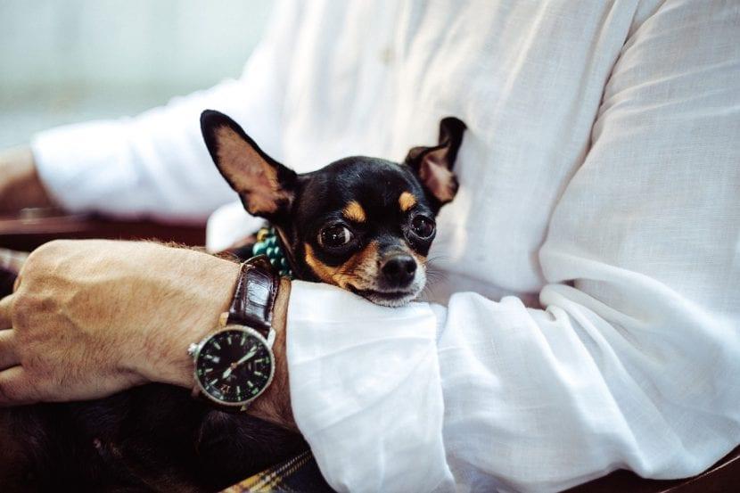 Chihuahua con un hombre