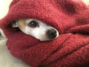 Chihuahua con frío