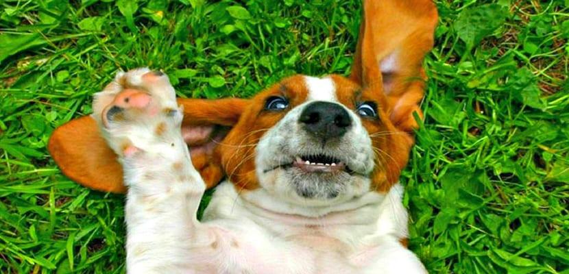 Cuidar las orejas de los perros