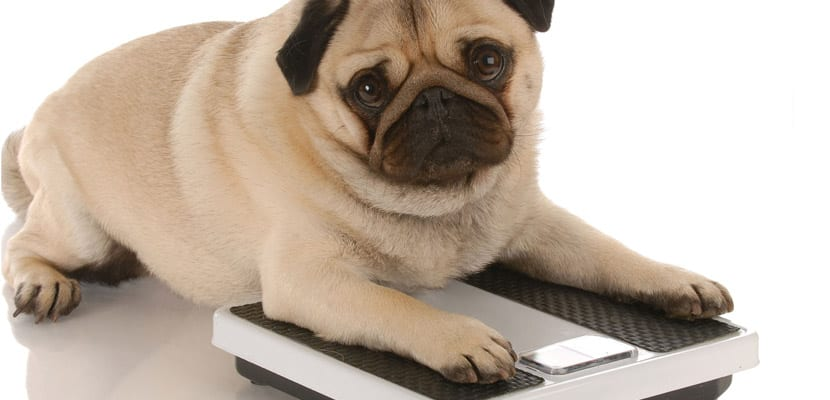 Perro obeso