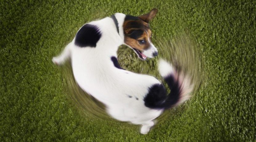 Perro persiguiéndose la cola