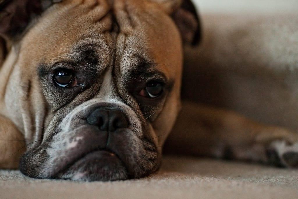 C mo saber si mi perro tiene depresi n - Como saber si un coche tiene cargas ...