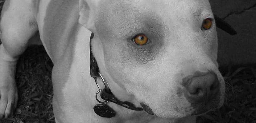 perros-pitbull