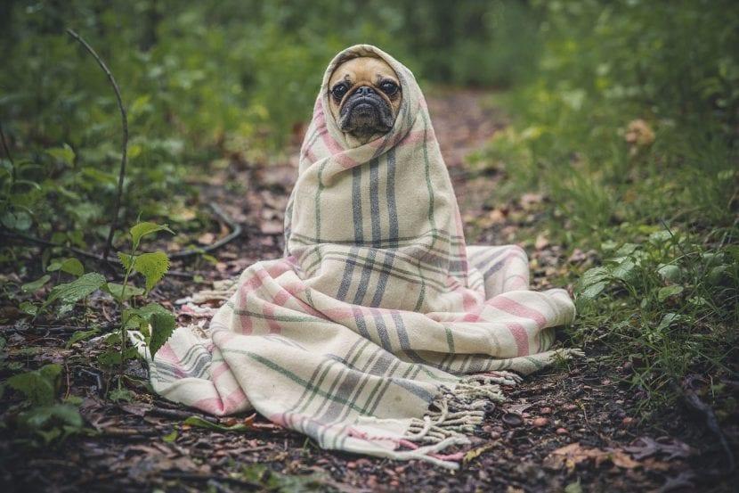 Pug con frío