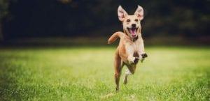 Perro corriendo por el campo.
