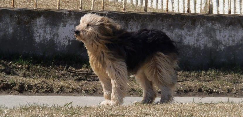 Perro Ovejero Magallánico.