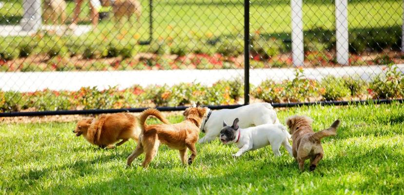 Perros jugando en un parque canino.