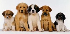 Varios cachorros juntos.