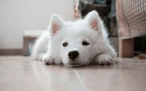 Cachorro de pelo blanco