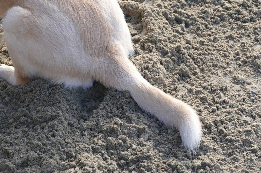 Cola de perro